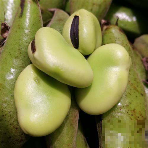 蚕豆的食用功效和禁忌人群