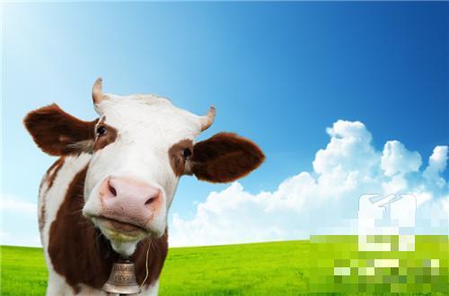 牛初乳什么时间吃最好