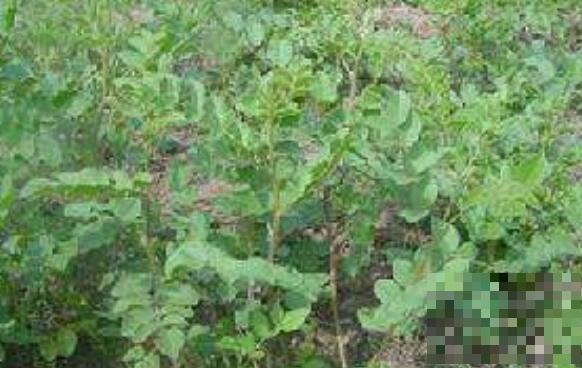 甜凉草的功效与作用及药用价值