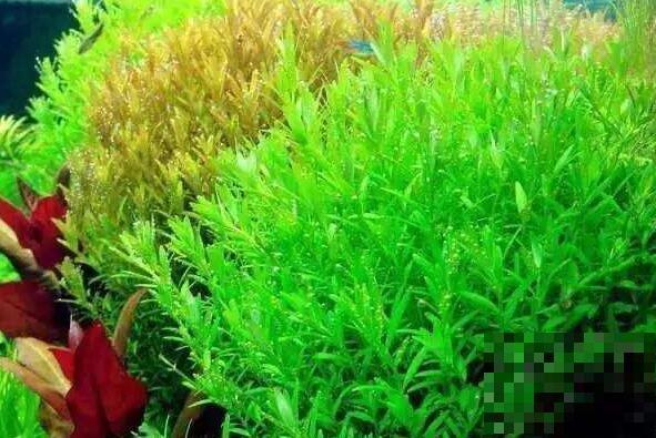 泡泡草的功效与作用 泡泡草的副作用