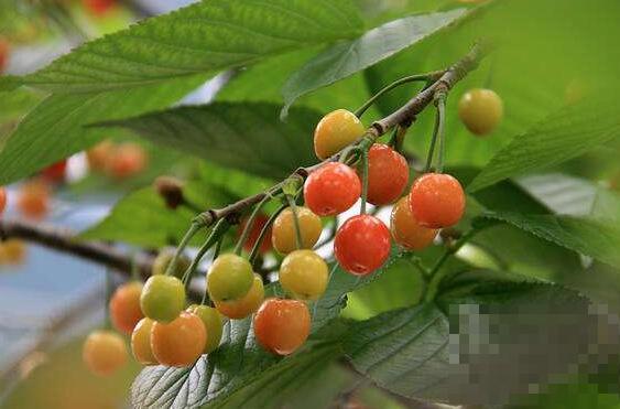 樱桃枝的功效与作用 樱桃枝的药用价值