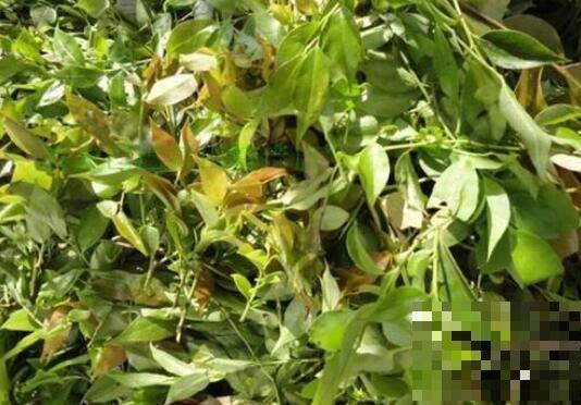 乌饭草的功效与作用 乌饭草的副作用与禁忌