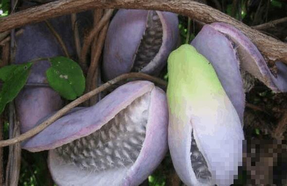 野香蕉的功效与作用 野香蕉的药用价值与副作用