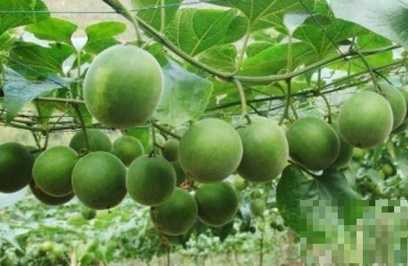 瓜蒌的功效与作用及药用价值